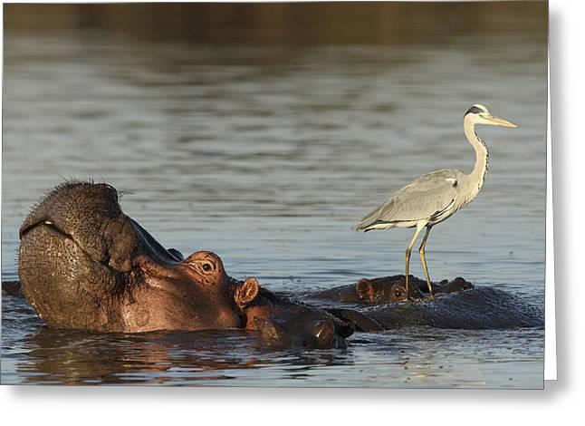 Grey Heron On Hippopotamus Kruger Np Greeting Card by Perry de Graaf