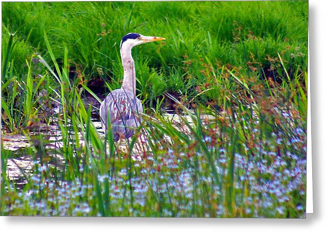 Grey Heron Greeting Card by Trevor Kersley