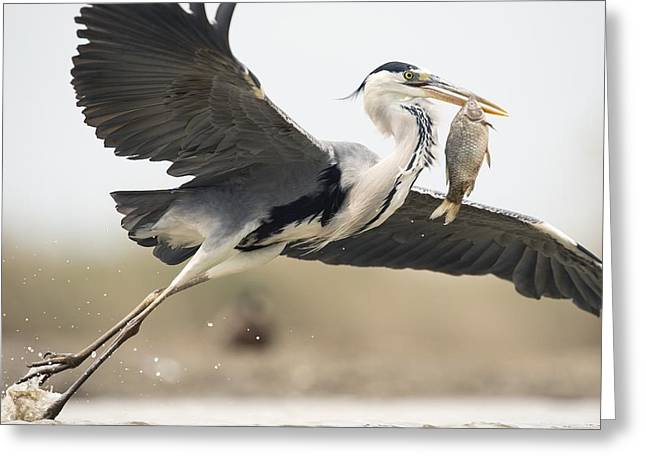 Grey Heron With A Fish Greeting Card by Science Photo Library