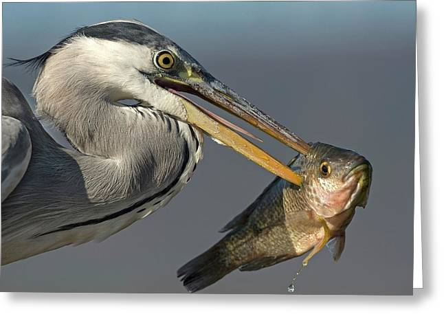 Grey Heron With Fish In Its Bill Greeting Card
