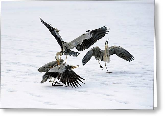 Grey Herons Fighting Over A Fish Greeting Card by Bildagentur-online/mcphoto-schulz