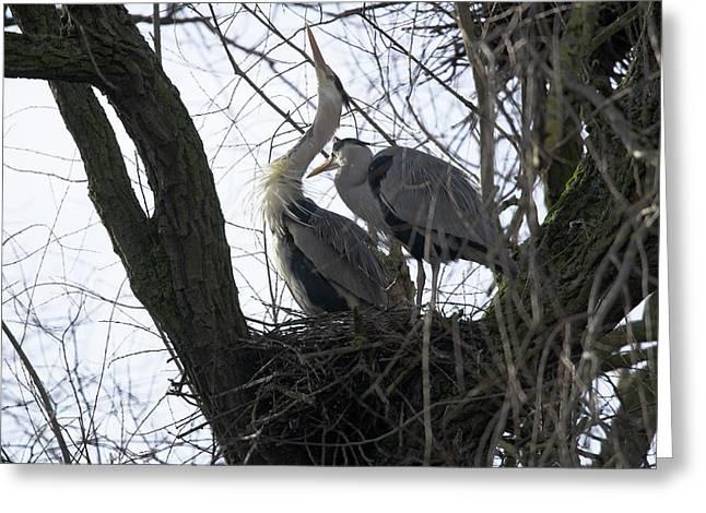 Grey Herons Nesting Greeting Card