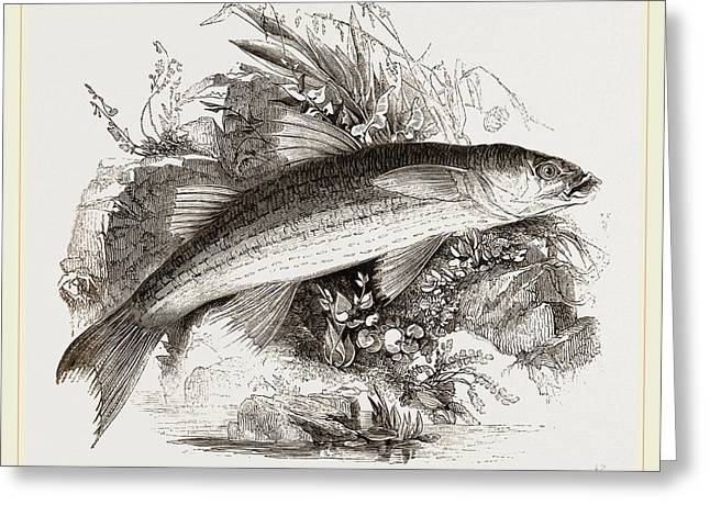 Grey Mullet Greeting Card by Litz Collection