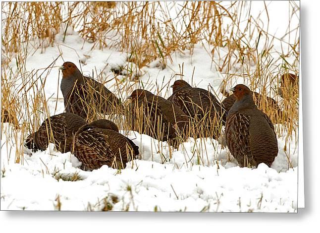 Grey Partridge In Snow Greeting Card