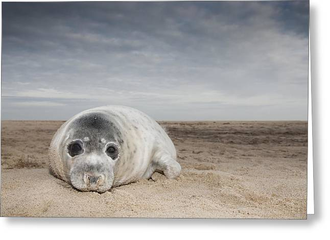 Grey Seal On Beach Norfolk England Greeting Card