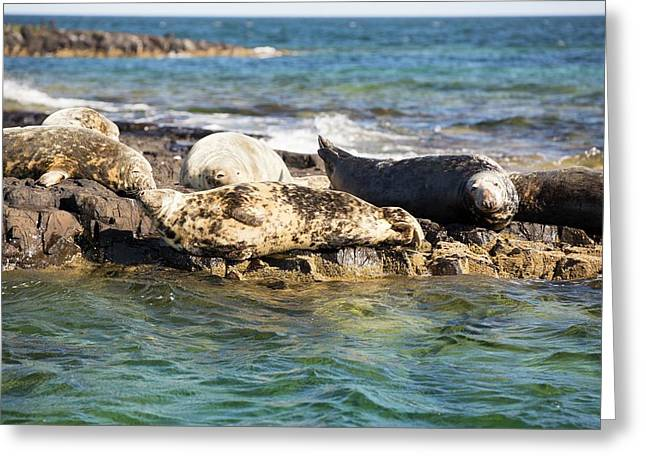 Grey Seals (halichoerus Grypus) Greeting Card by Ashley Cooper