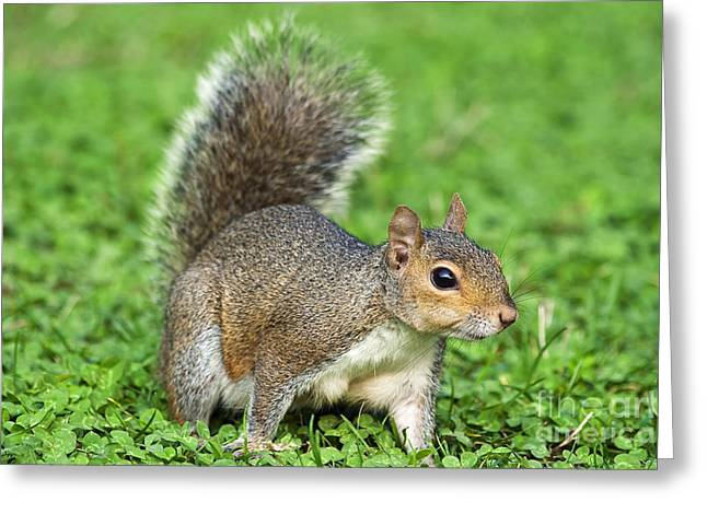 Greeting Card featuring the photograph Grey Squirrel by Antonio Scarpi