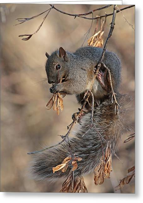 Jim Nelson Greeting Cards - Grey Squirrel Greeting Card by Jim Nelson