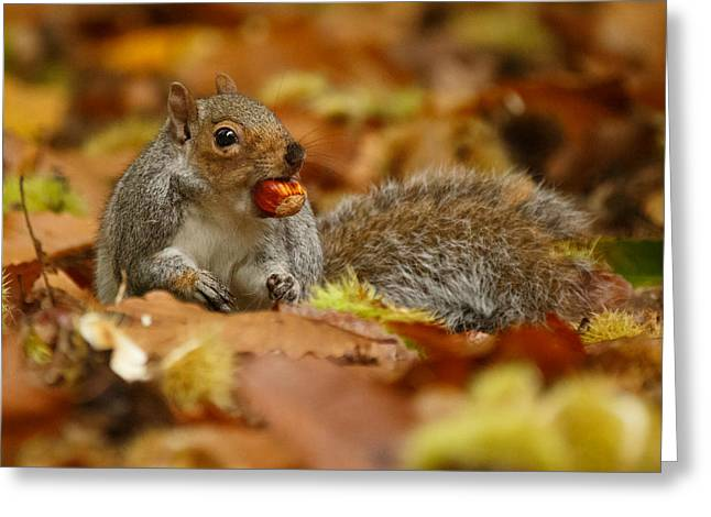 Grey Squirrel With Chestnut In Autumn Leaves Greeting Card