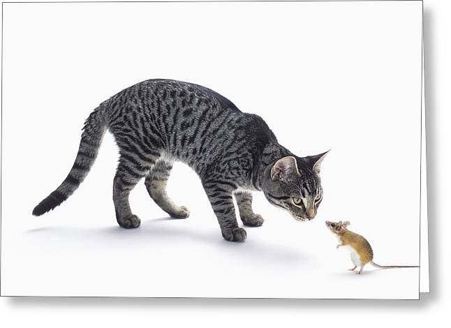 Grey Tabby Cat And Mouse Staring Greeting Card