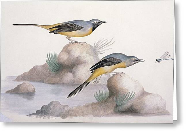 Grey Wagtail, 19th Century Greeting Card by Science Photo Library