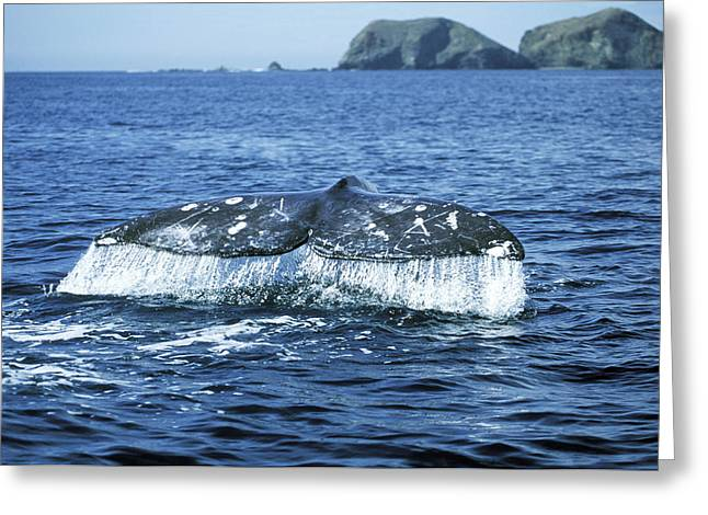 Grey Whale Tail Greeting Card by M. Watson