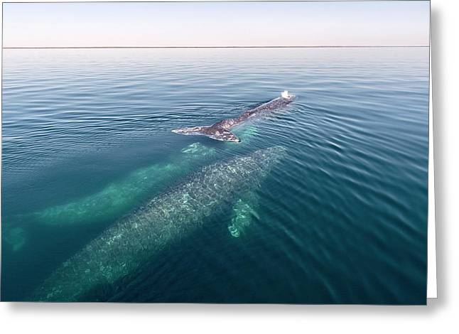 Grey Whales Greeting Card
