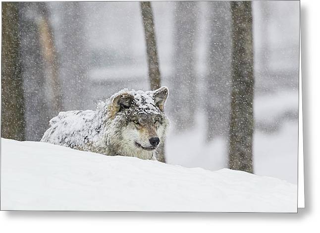 Grey Wolf  Canis Lupus  During A Snow Greeting Card by Dominic Marcoux
