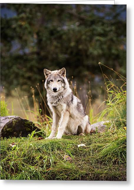 Grey Wolf  Canis Lupus  Pup Roams It S Greeting Card by Doug Lindstrand