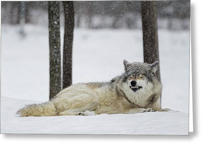 Grey Wolf  Canis Lupus  Showing Greeting Card by Dominic Marcoux