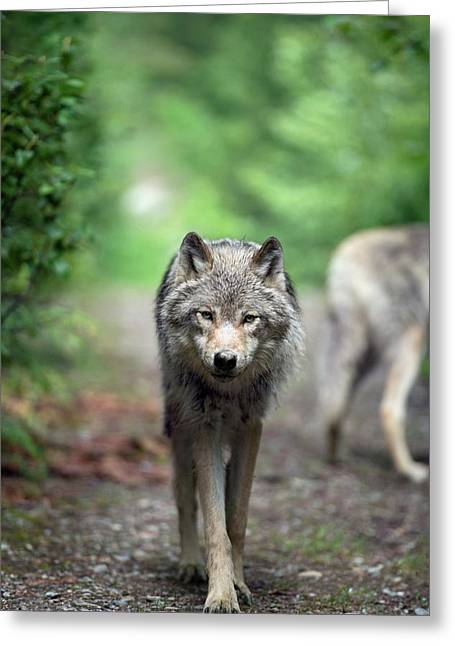 Grey Wolf Greeting Card by Dr P. Marazzi
