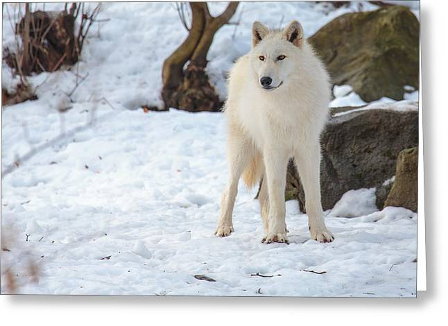 Grey Wolf Greeting Card by Everet Regal