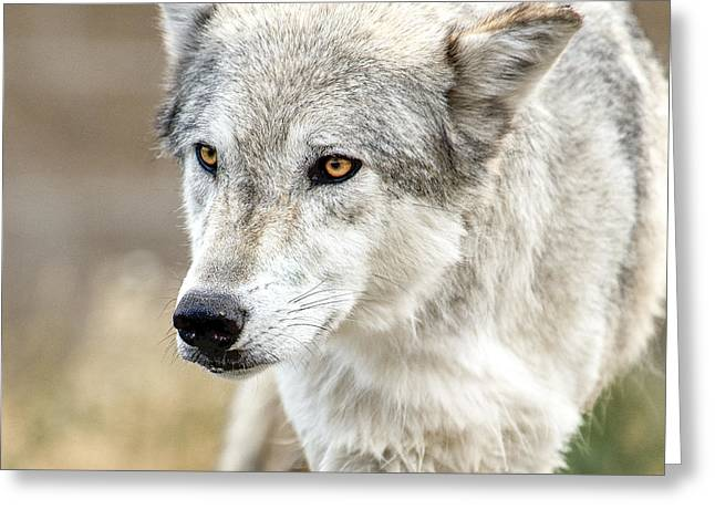 Greeting Card featuring the photograph Grey Wolf Eyes by Yeates Photography