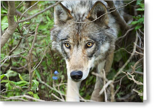 Grey Wolf Hunting For Snow Shoe Hare Greeting Card by Thomas Sbamato