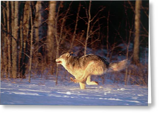 Grey Wolf Running Greeting Card