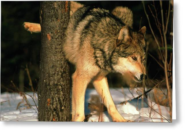 Grey Wolf Urinating Greeting Card