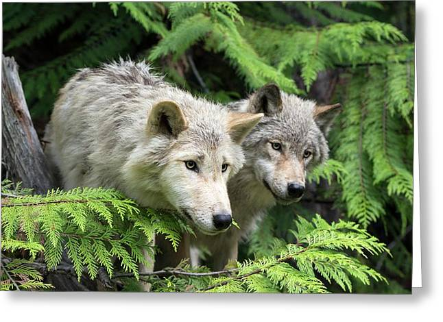 Grey Wolves Greeting Card by Dr P. Marazzi