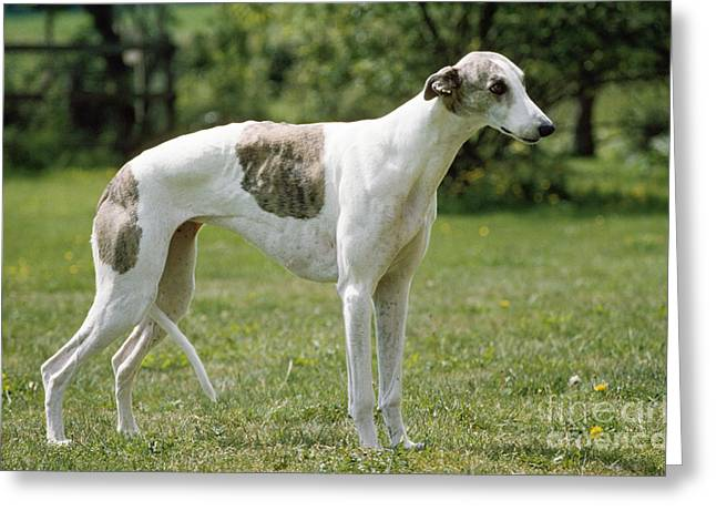 Greyhound Dog Greeting Card by John Daniels