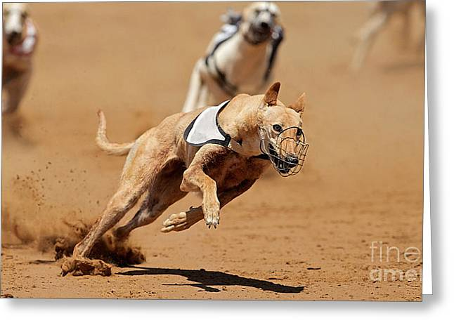 Greyhound Races Greeting Card by Marvin Blaine