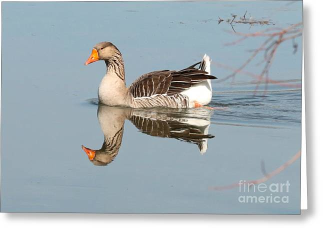 Greylag Goose On Calm Water Greeting Card by Carol Groenen