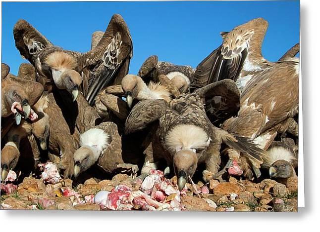 Griffon Vultures Feeding Greeting Card