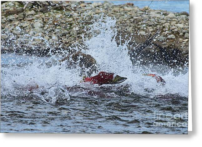 Brown Bear Chasing Salmon While Salmon Jump To Escape Greeting Card by Dan Friend