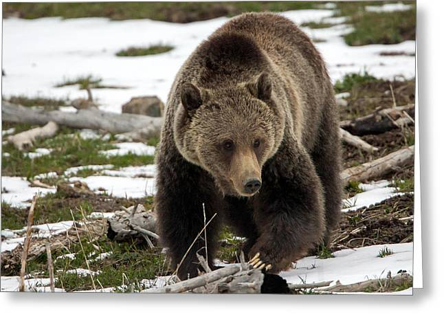 Greeting Card featuring the photograph Grizzly Bear In Spring by Jack Bell