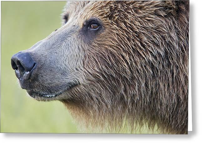 Grizzly Bear Lake Clark Np Alaska Greeting Card