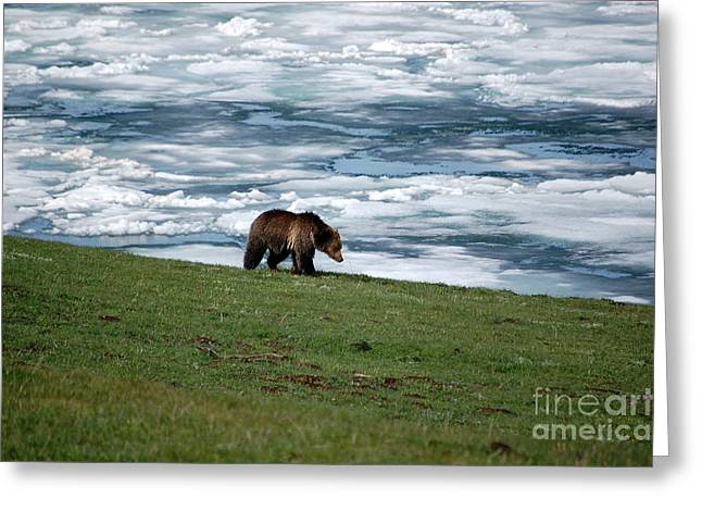 Greeting Card featuring the photograph Grizzly Bear On The Shoreline Of Frozen Lake Yellowstone by Shawn O'Brien