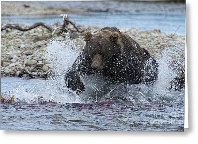 Brown Bear Pouncing On Salmon Greeting Card by Dan Friend