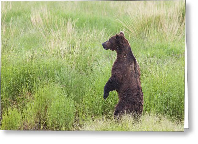 Grizzly Bear Ursus Arctos Standing Greeting Card by Lucas Payne