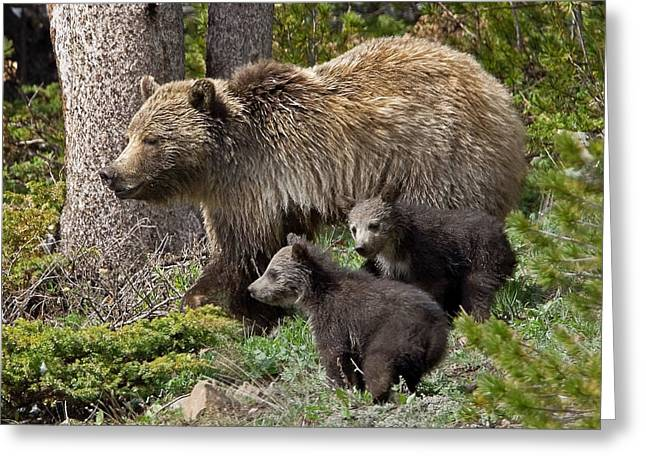 Grizzly Bear With Cubs Greeting Card by Jack Bell