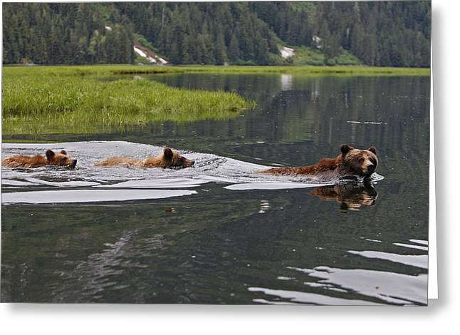 Grizzly Bears Swimming Greeting Card by M. Watson