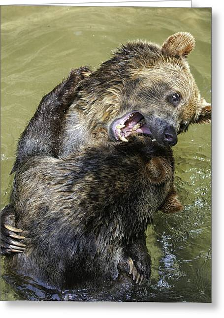Grizzly Cubs Roughhousing Greeting Card