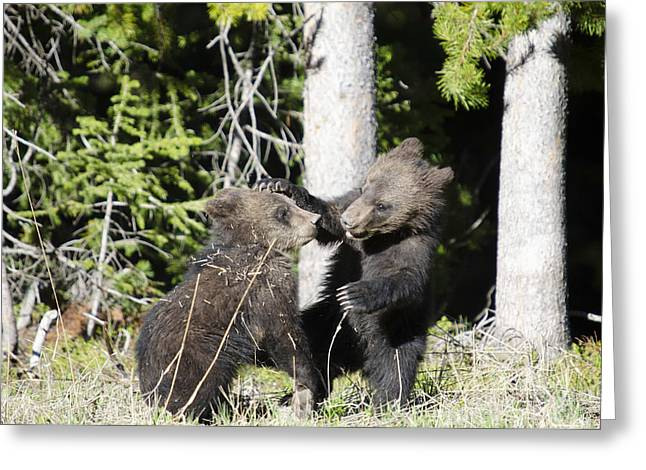 Grizzly Cubs Playing Greeting Card