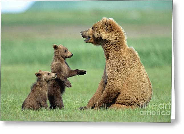 Grizzly Cubs Trying To Play With Mother Greeting Card by Yva Momatiuk and John Eastcott