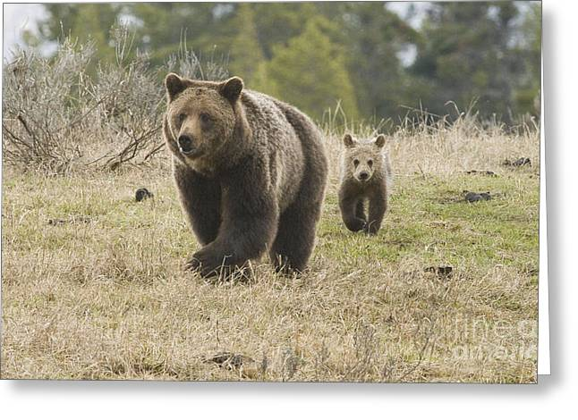 Grizzly Family At Fishing Bridge Greeting Card by Bob Dowling