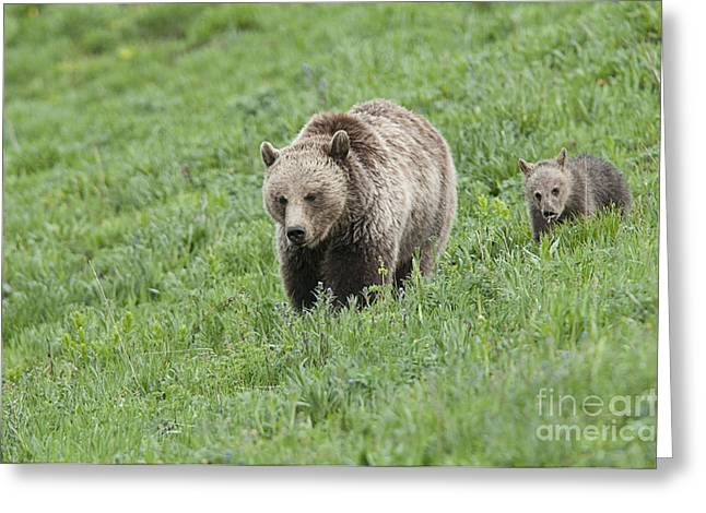 Grizzly Family On Dunraven Greeting Card by Bob Dowling