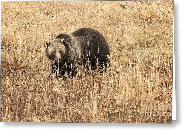 Grizzly In Autumn Meadow Greeting Card by Bob Dowling