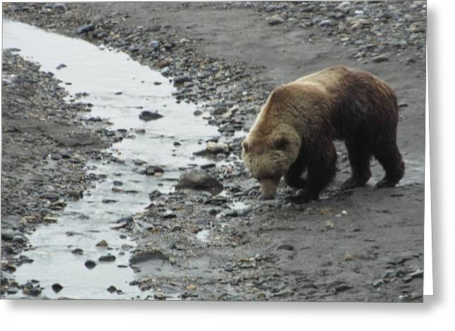 Grizzly In Denali Greeting Card