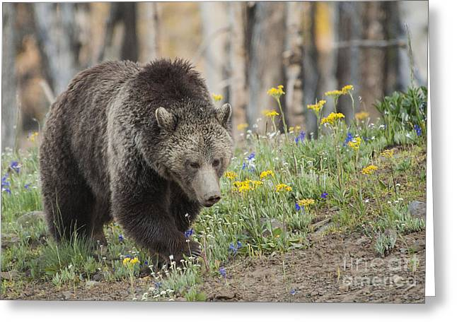 Grizzly In Spring Flowers Greeting Card by Bob Dowling