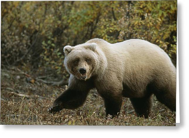 Grizzly On Autumn Tundra Highway Pass Greeting Card