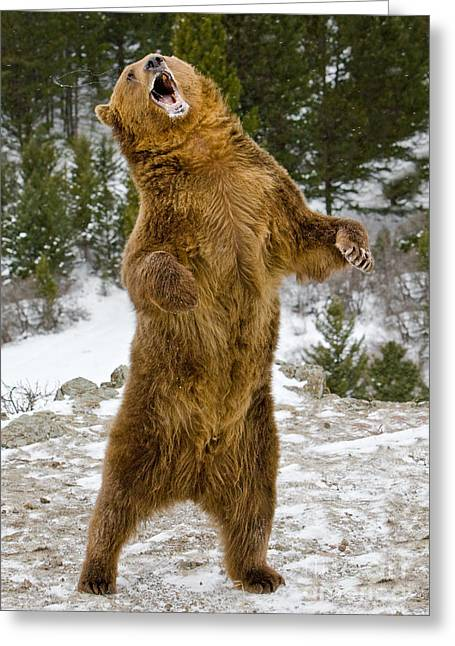 Grizzly Standing Greeting Card by Jerry Fornarotto