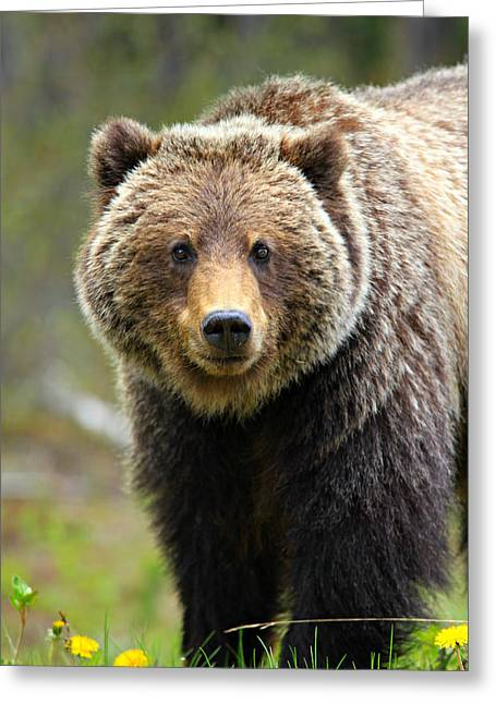 Grizzly Greeting Card by Stephen Stookey